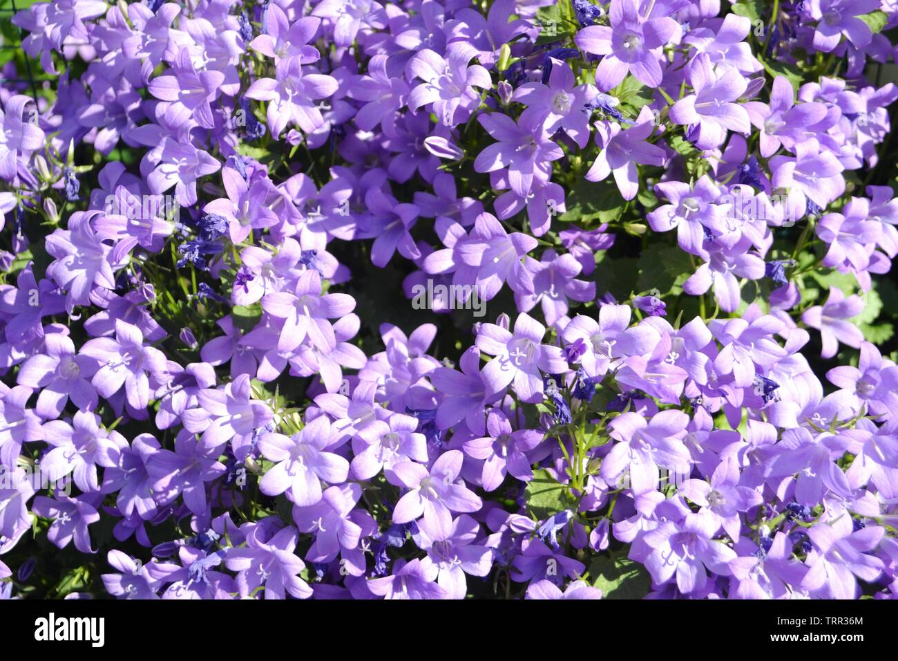 Close-up view to violet flowers of campanula portenschlagiana violet blooming brightly illuminated under the sun. Stock Photo
