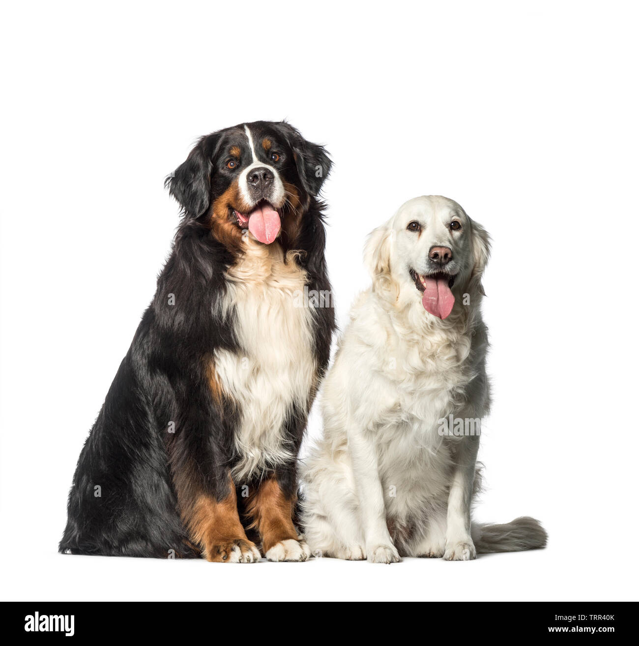 Two Bernese Mountain Dogs Sitting Stock Photos Two Bernese