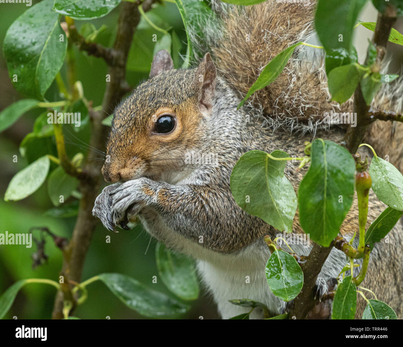 A grey squirrel n a tree eating very small, unripe pears. - Stock Image