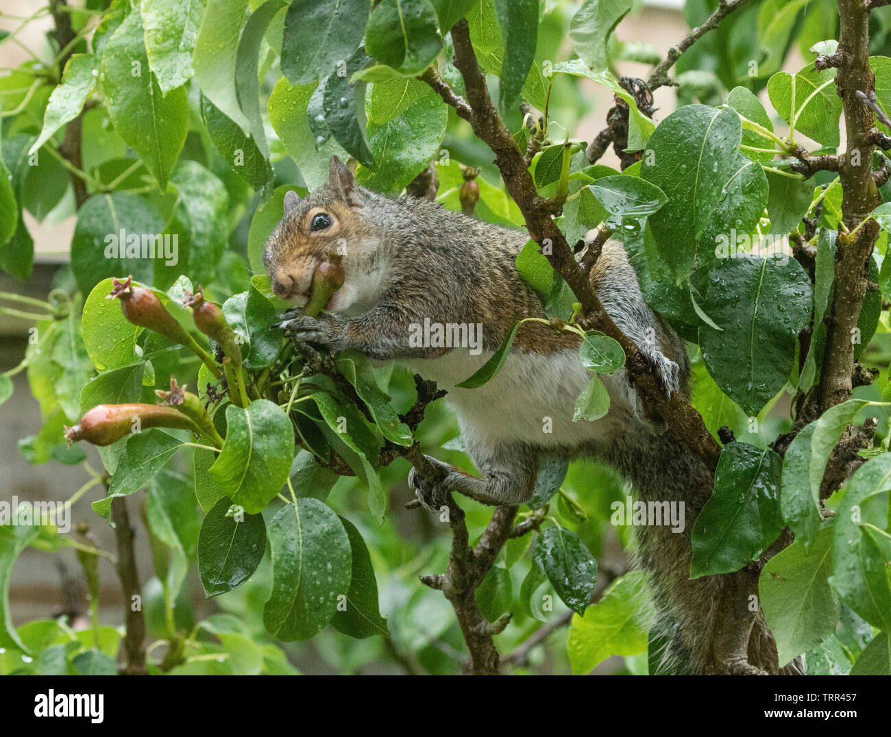 A grey squirrel taking and eating very small, unripe pears. - Stock Image