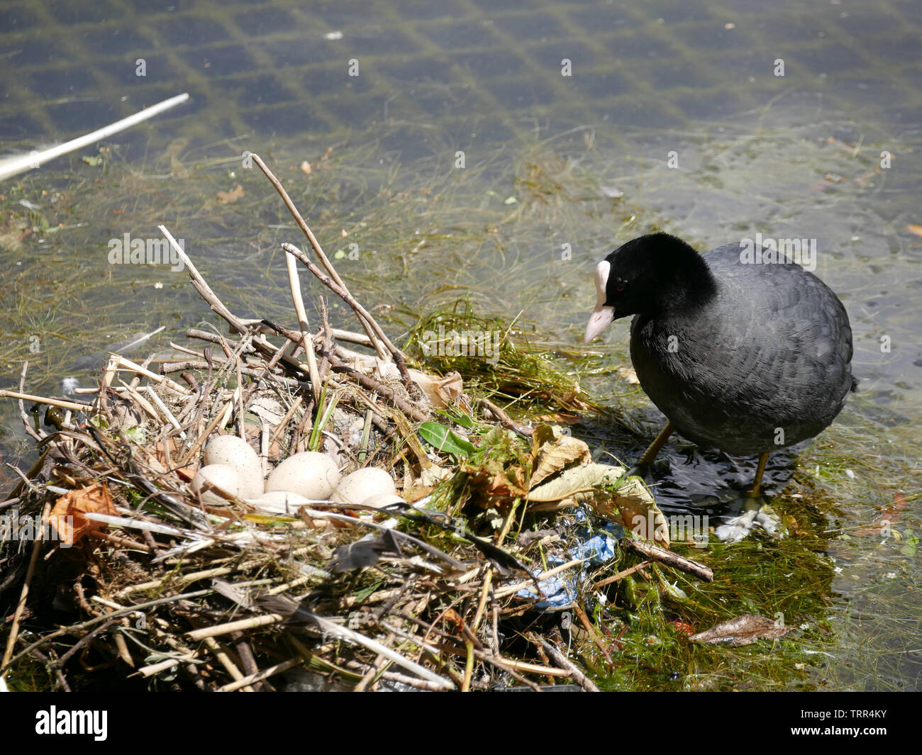 Adult coot -Fulica atra with a clutch of eggs in a nest at Hyde Park, London, UK - Stock Image