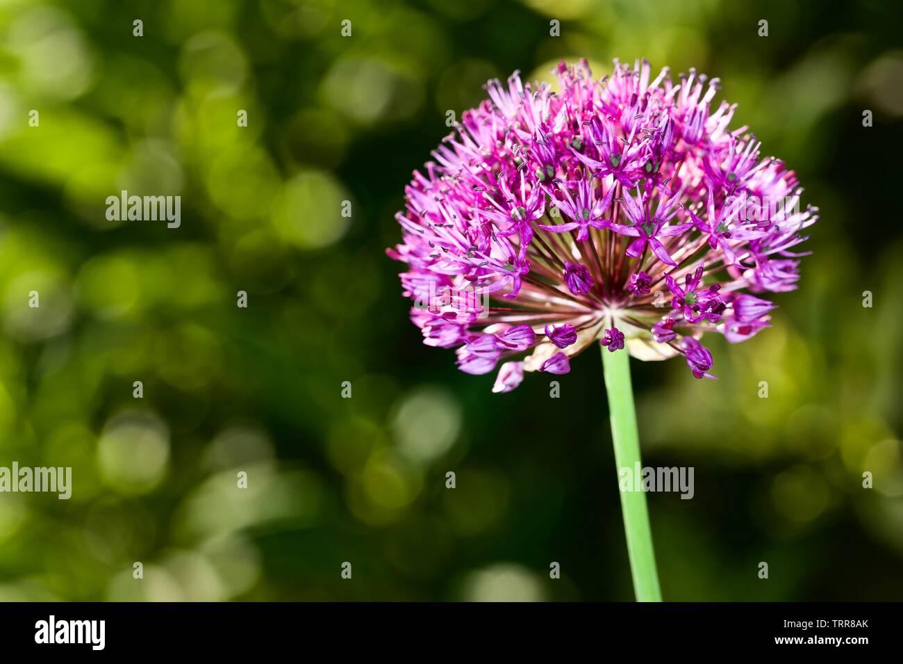 Allium hollandicum 'Purple Sensation' - Stock Image