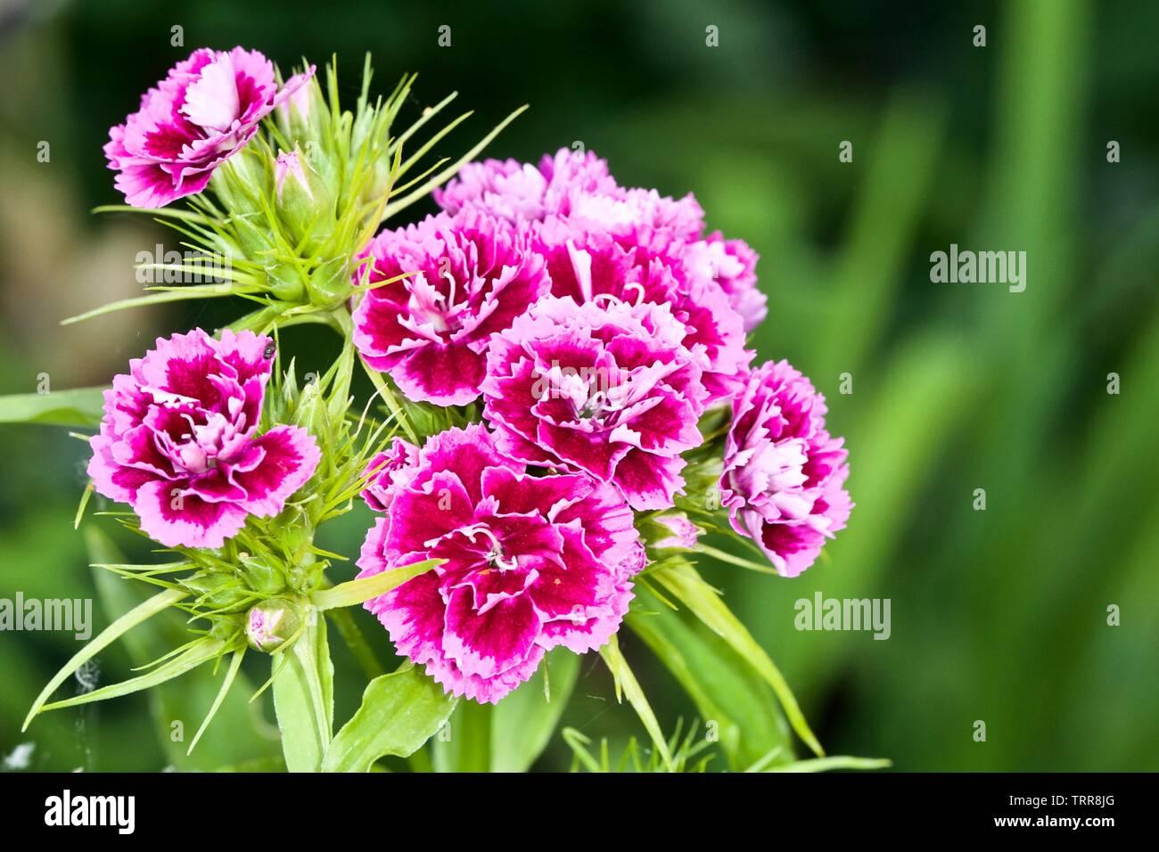 Sweet William, Dianthus barbatus - Stock Image