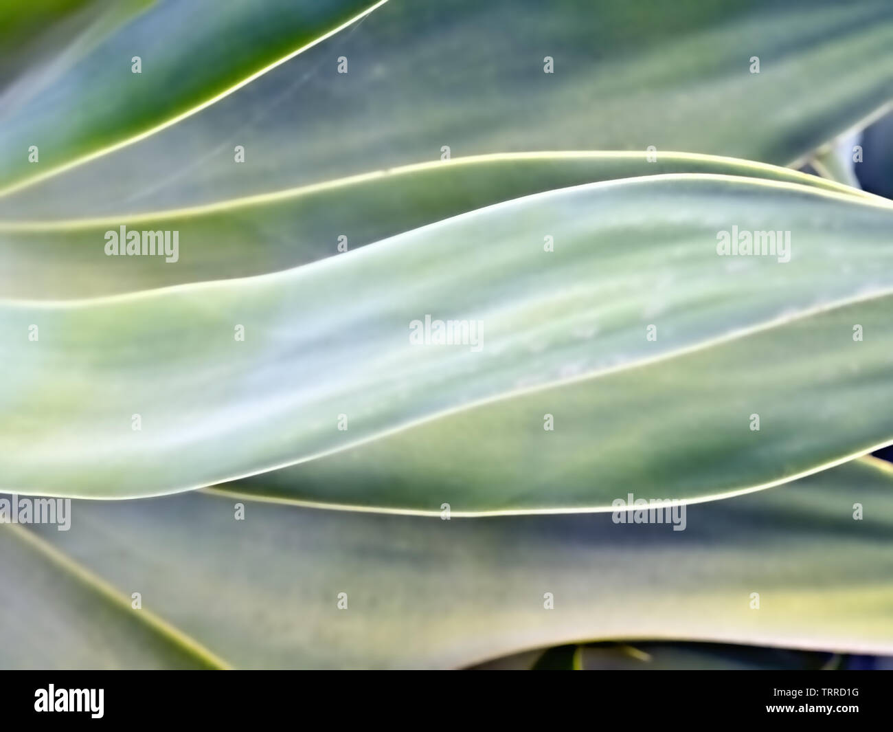 texture, background, pattern, web design in color delicate green, pattern cross, long leaves of a succulent plant in and on top of each other, very so - Stock Image