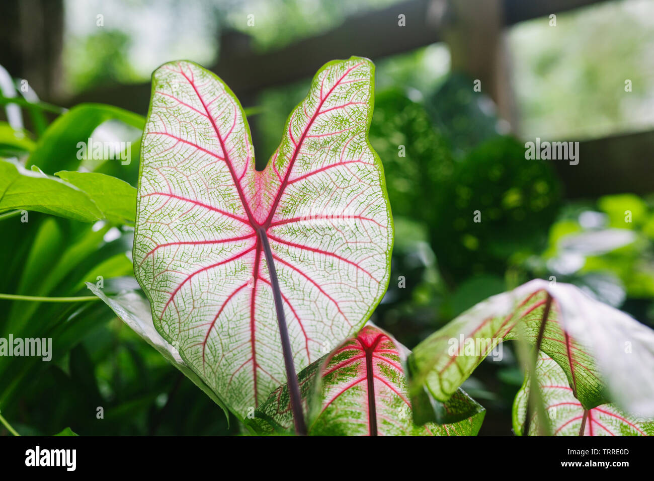 Close up of backlit taro (kalo) leaves growing on the Hamakua coast on the island of Hawaii - Stock Image