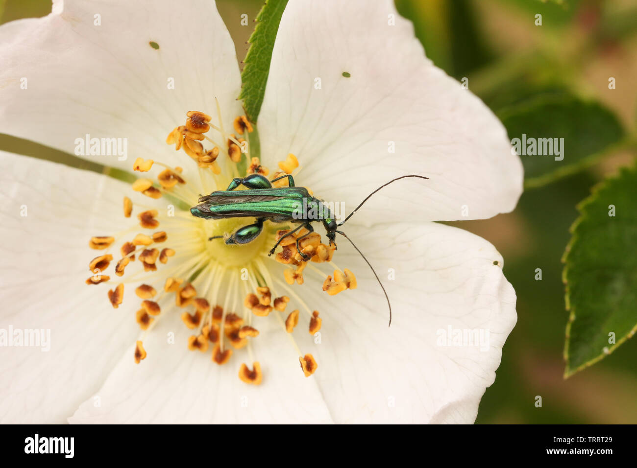 A pretty male Swollen-thighed Flower Beetle, Oedemera nobilis, nectaring on a wild dog rose flower. - Stock Image