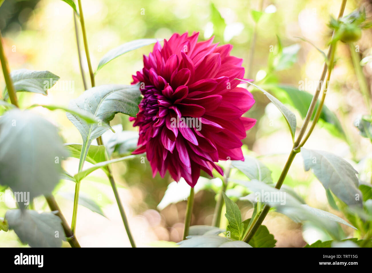 A red Dahlia flower (A member of Asteraceae or Compositae dicotyledonous), a genus of bushy, tuberous, herbaceous perennial plants, related to species - Stock Image