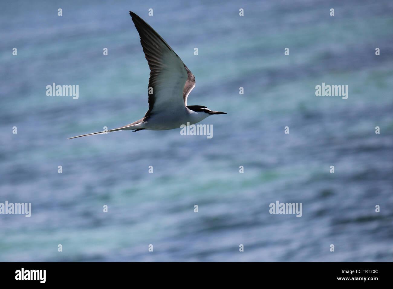 Bridled Tern - Stock Image