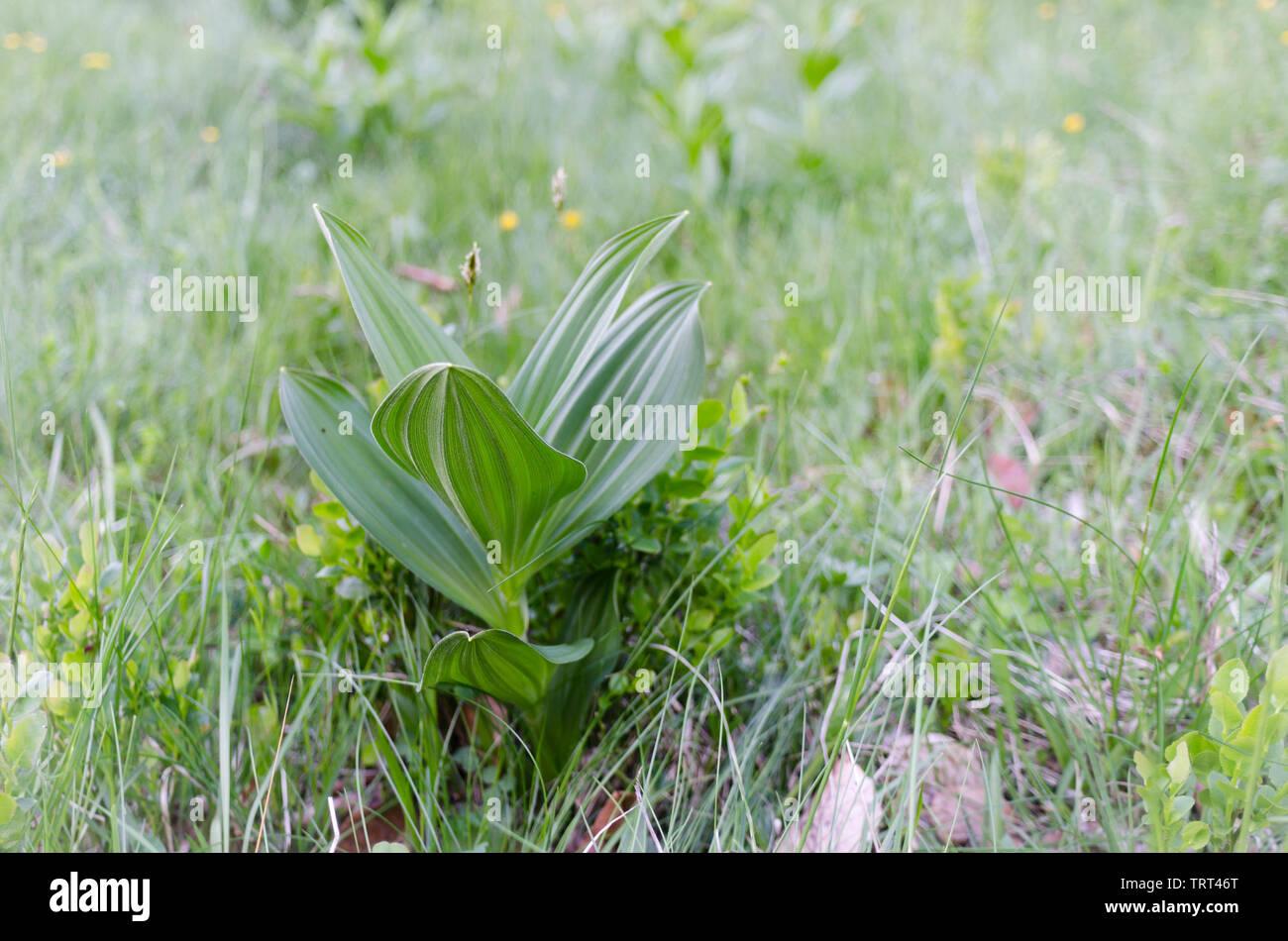 Rumänische Wiesengewächse Stock Photo