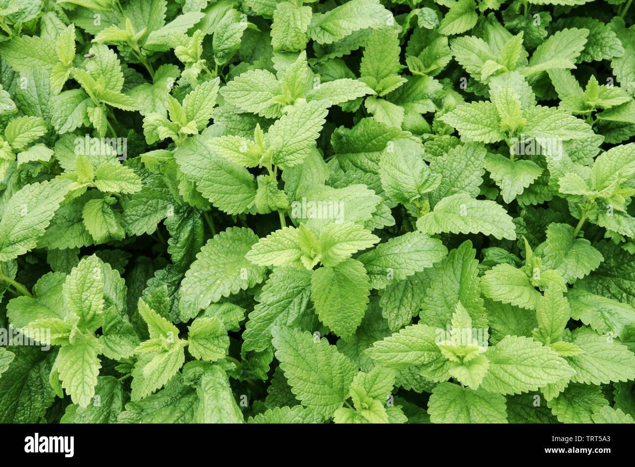 Lemon Balm Melissa officinalis herb Stock Photo