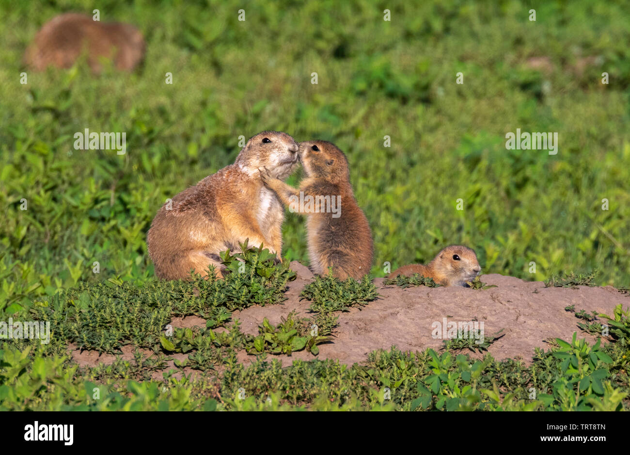 Black-tailed prairie dogs (Cynomys ludovicianus), a baby giving a morning hug to his mom, Badlands National Park, South Dakota, USA. - Stock Image