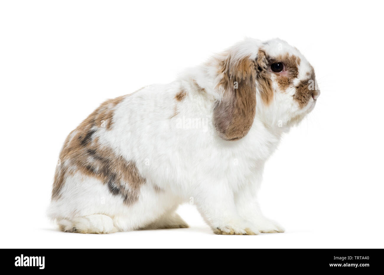 Holland Lop rabbit sitting in front of white background - Stock Image
