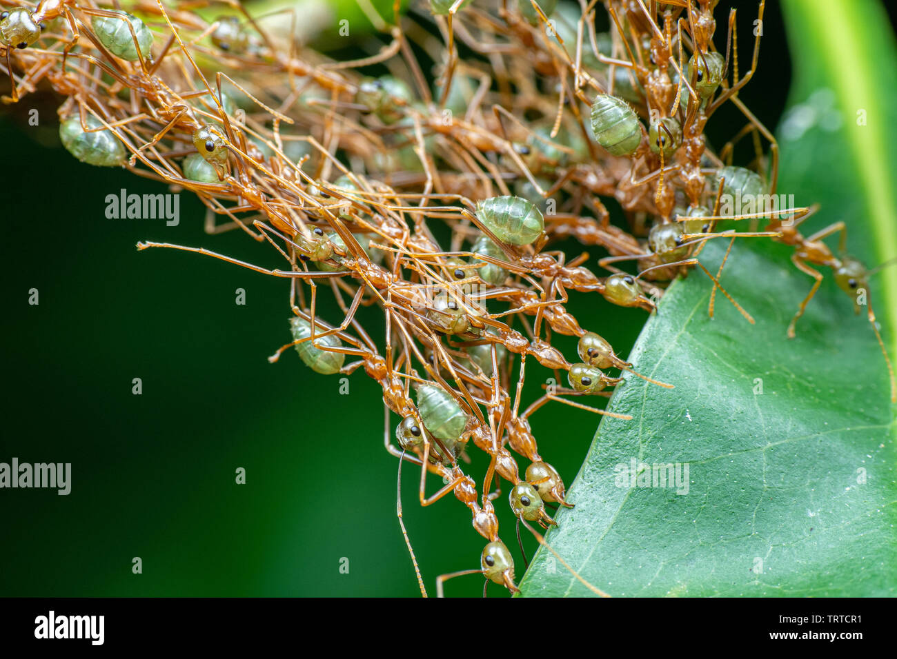 Oecophylla smaragdina, green weaver ants, working together to sew leaves and make a nest - Stock Image