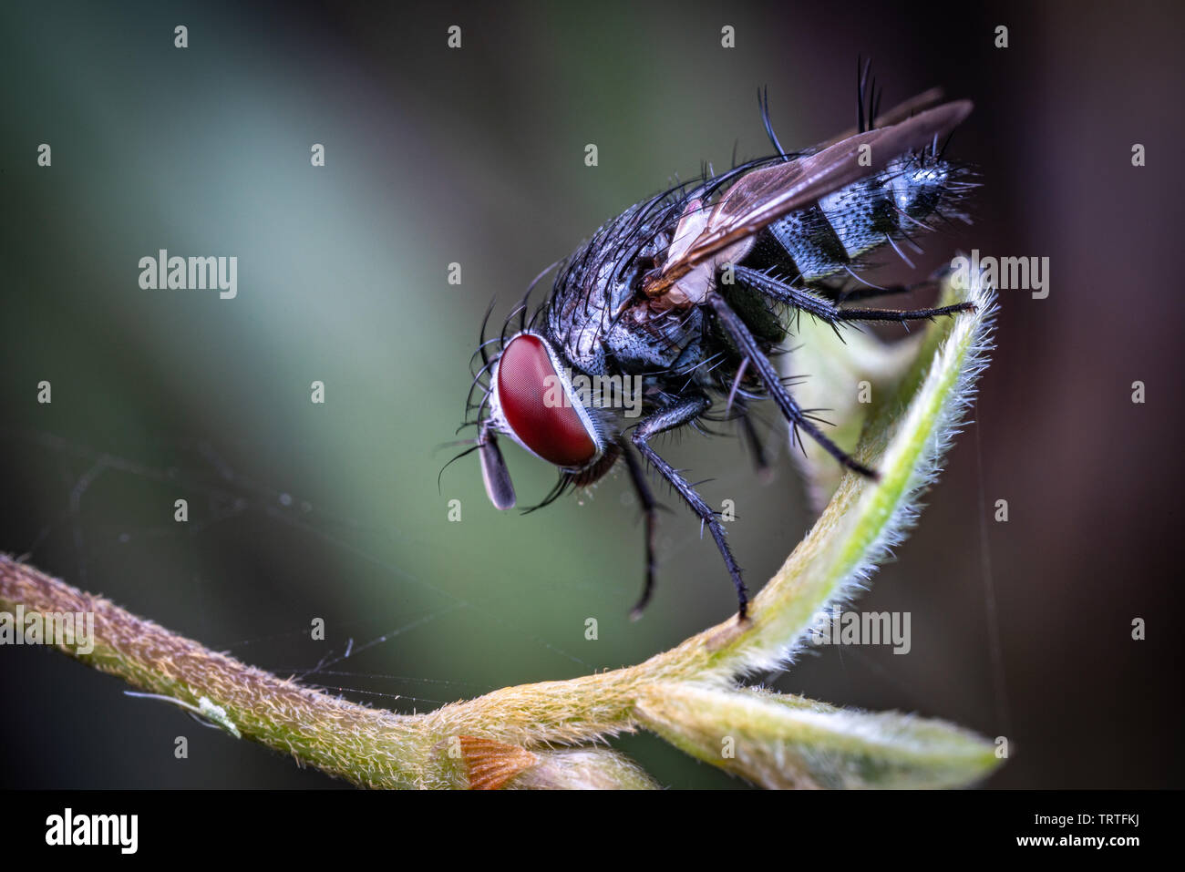 A hairy fly from the family Tachinidae, sitting on a leaf in Queensland rainforest, Australia Stock Photo