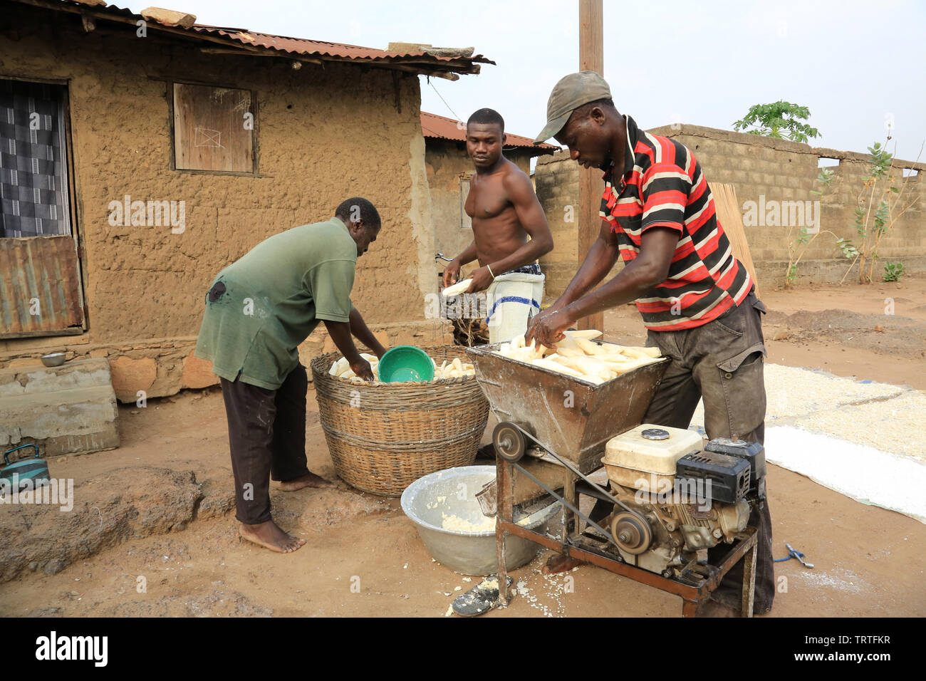 Récolte du manioc. Coopérative agricole. Dtacha. Togo. Afrique de l'Ouest. - Stock Image