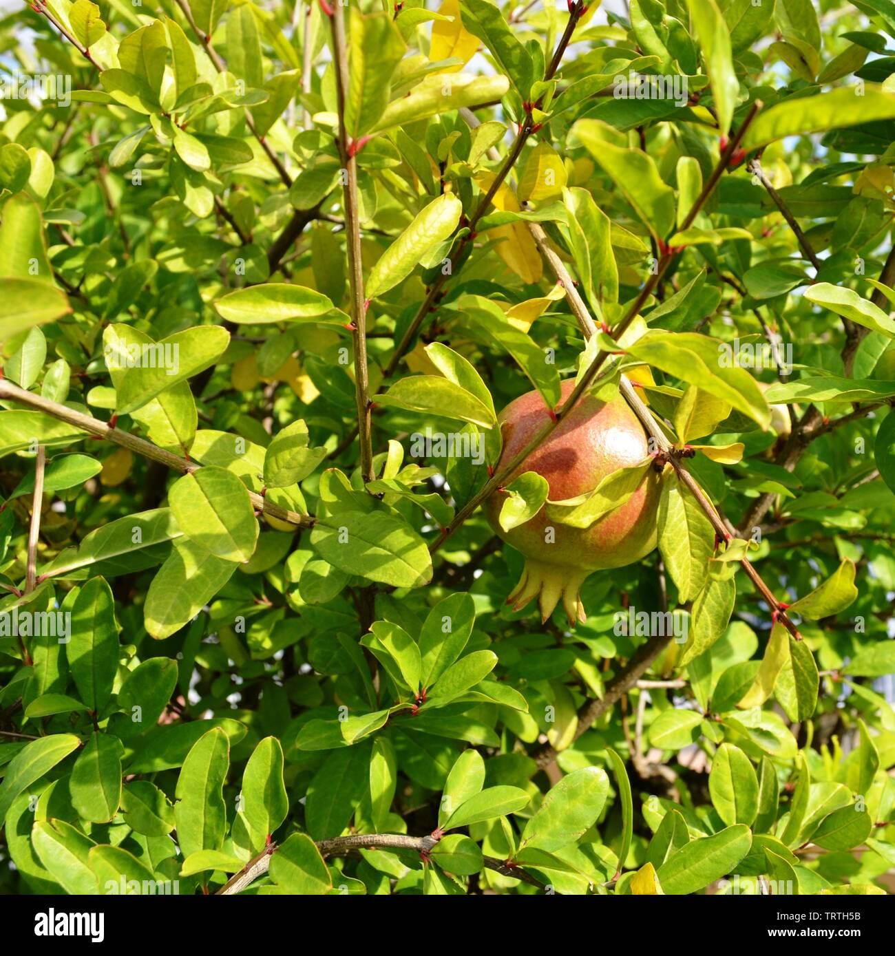 Red pomegranate fruit brightly illuminated by sunshine in the middle of leaves and twigs. Stock Photo