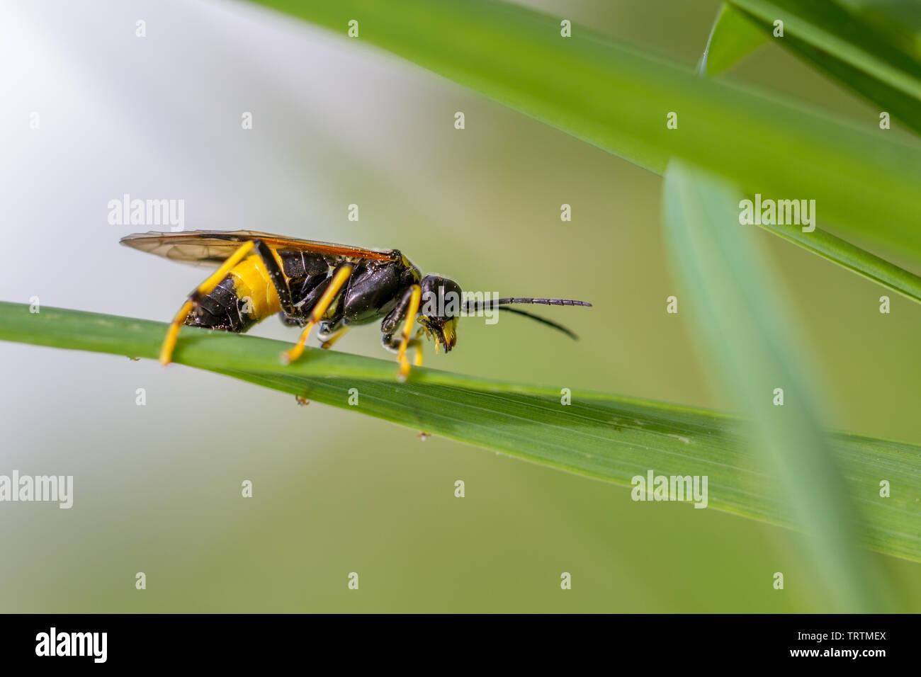 Tenthredo maculata sawfly - a striking yellow wasp mimic, UK - Stock Image