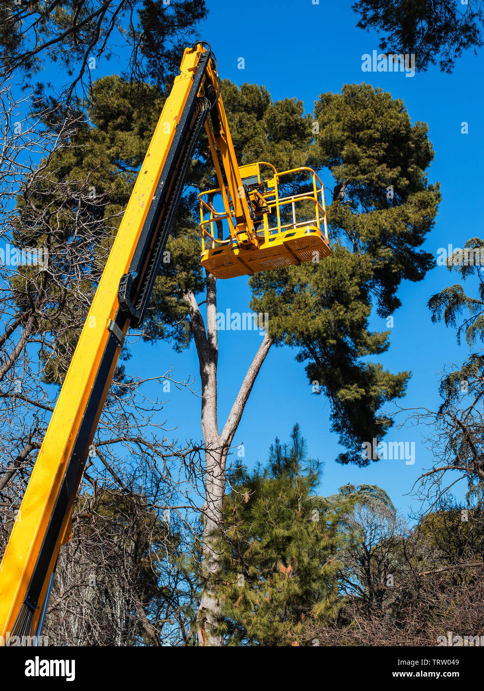 yellow  platform lift on top tress in the park to prune pine trees - Stock Image