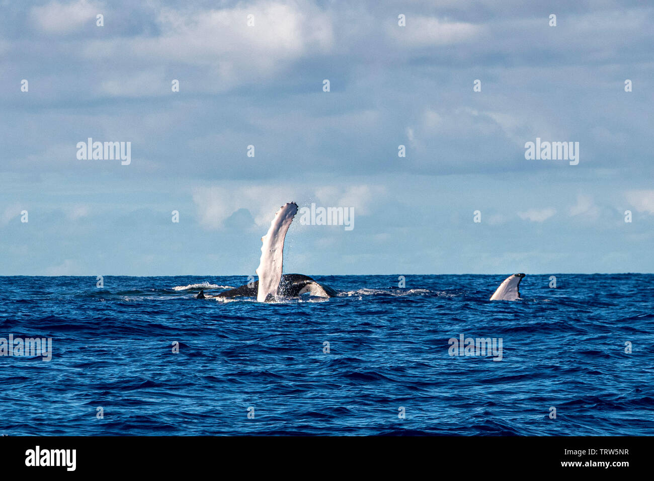 Humpback whale tail slap splash in pacific ocean Moorea French Polynesia Stock Photo