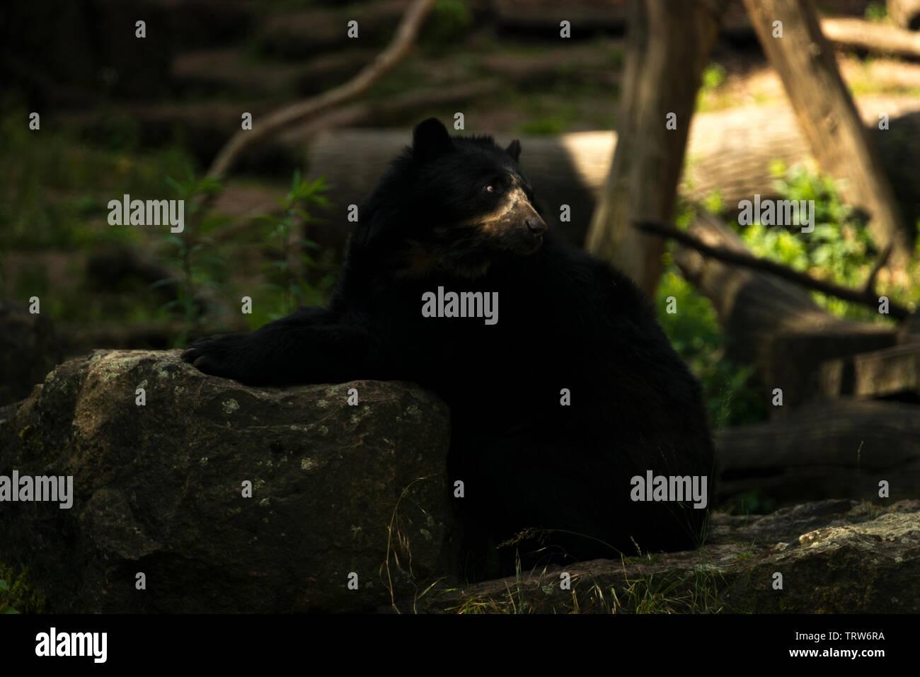 Spectacled Bear (Tremarctos ornatus) Stock Photo