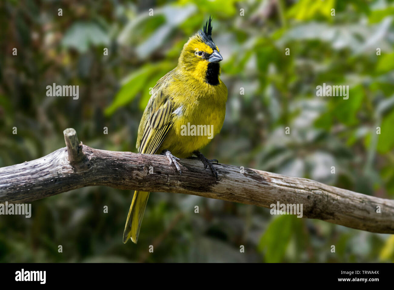 Yellow cardinal (Gubernatrix cristata) perched in tree, native to Argentina, Brazil, Paraguay and Uruguay - Stock Image