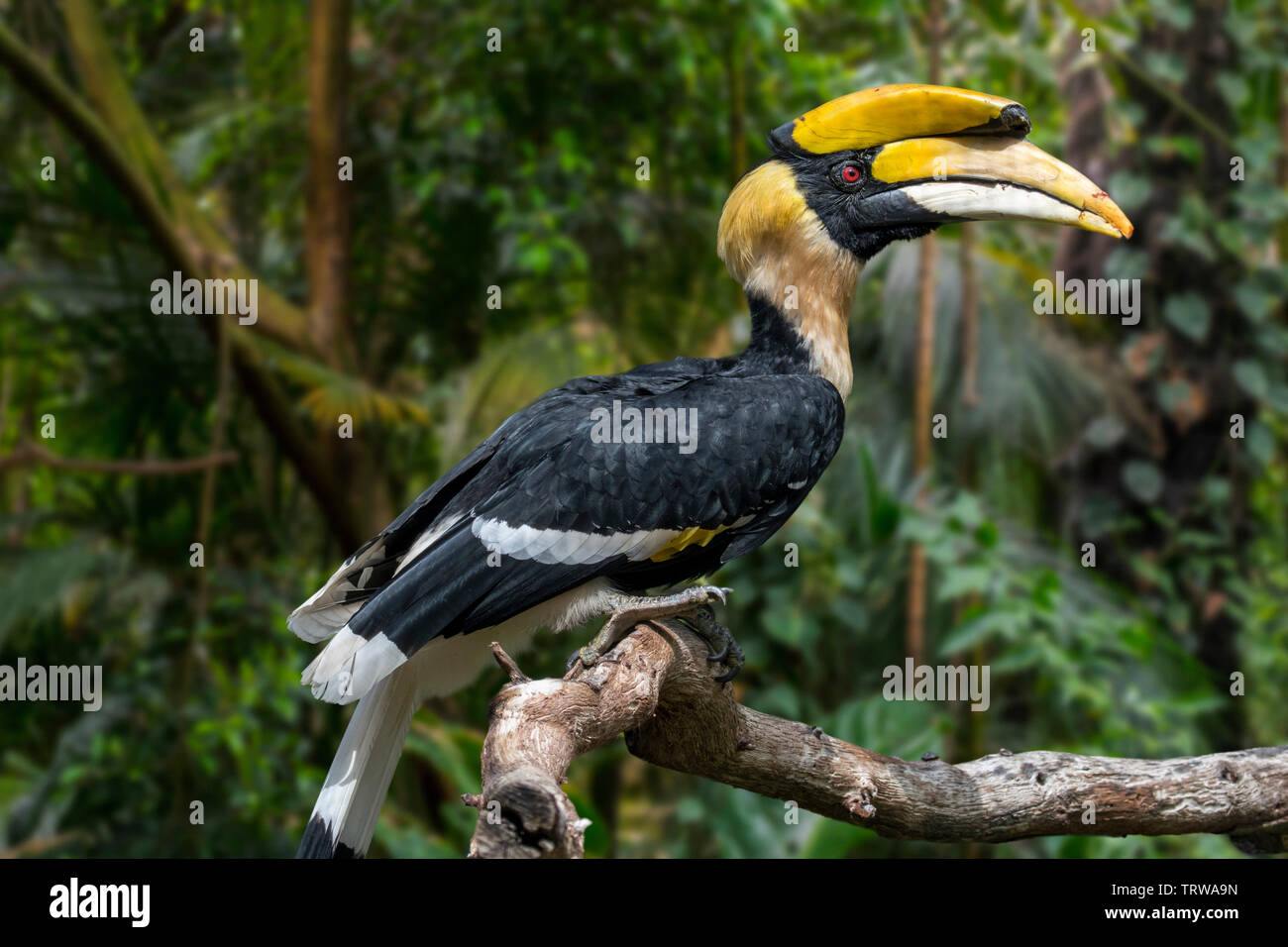 Great hornbill / great Indian hornbill / great pied hornbill (Buceros bicornis) native to the Indian subcontinent and Southeast Asia - Stock Image
