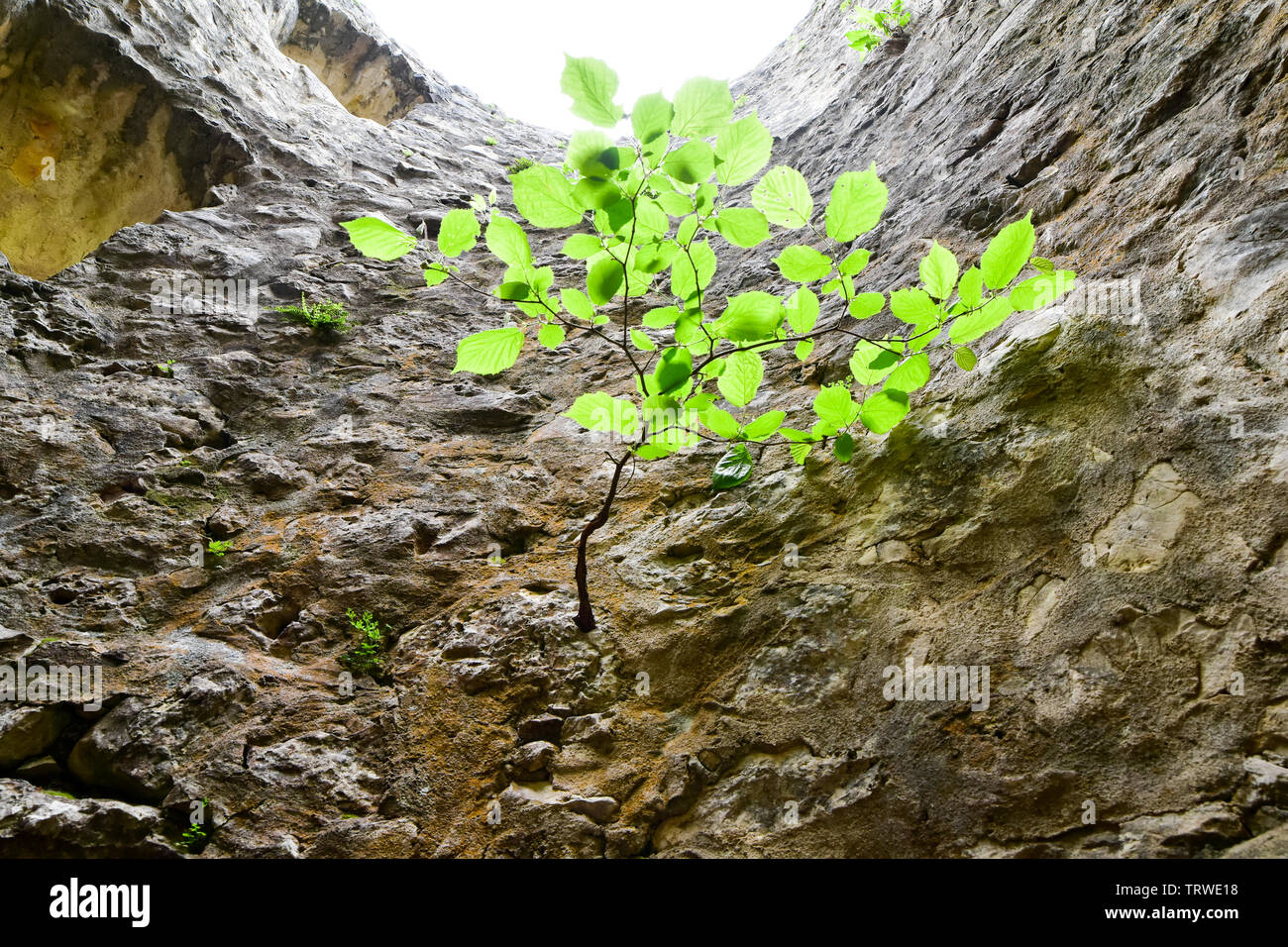 Survivor concept. Little tree growth on stone wall. - Stock Image