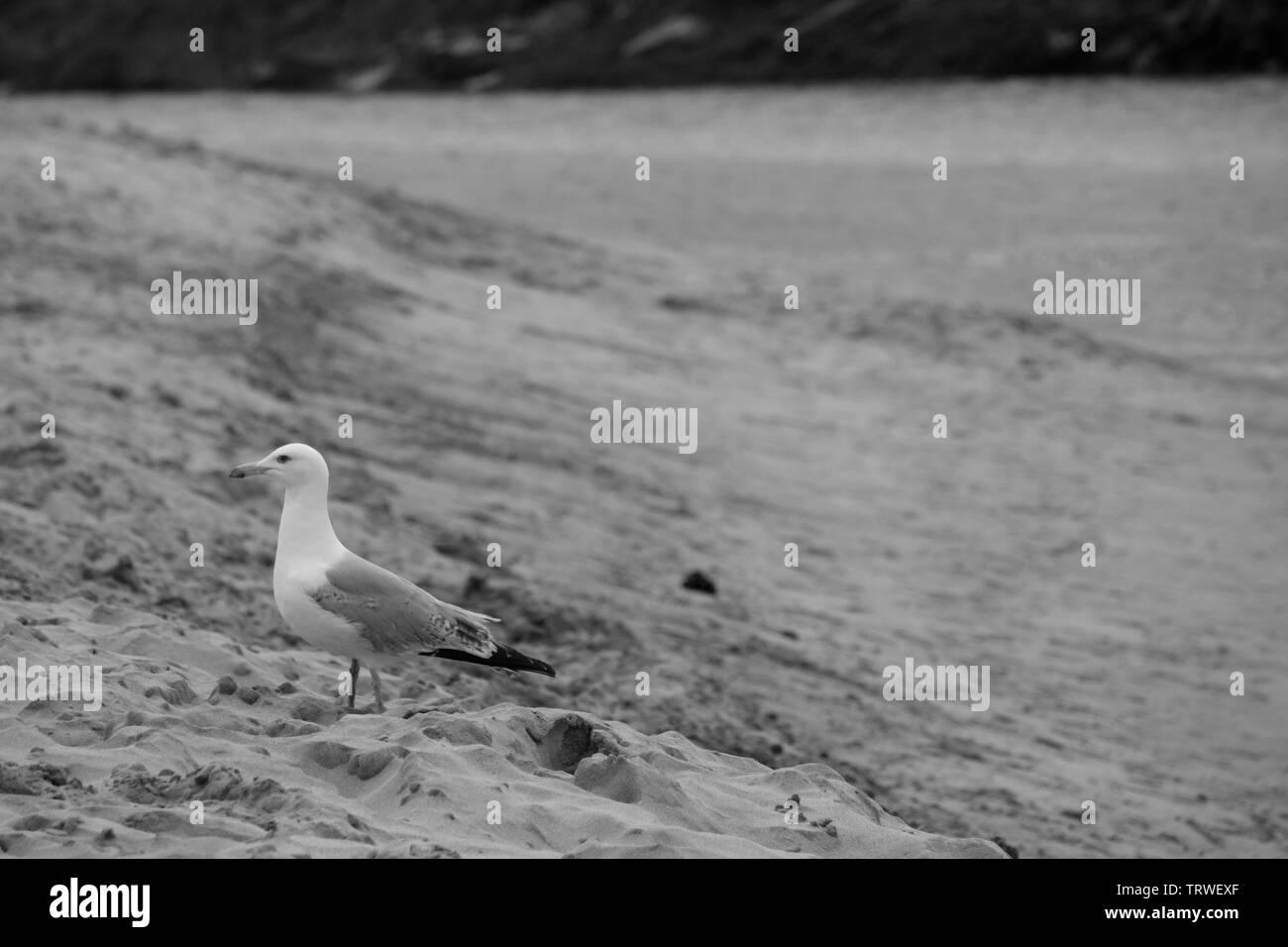sea gull on a beach - Stock Image