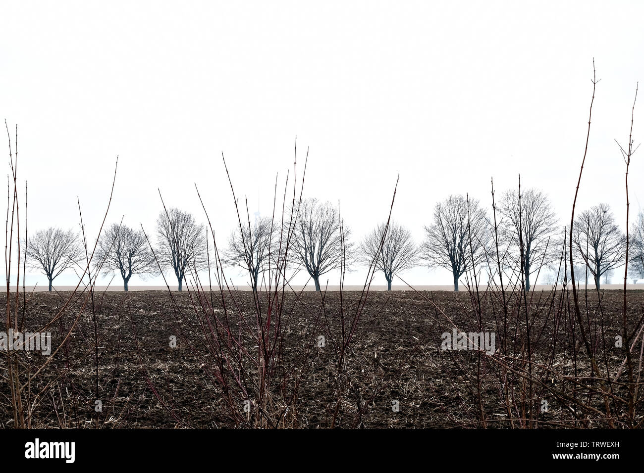 bare trees in a row on field in winter - Stock Image
