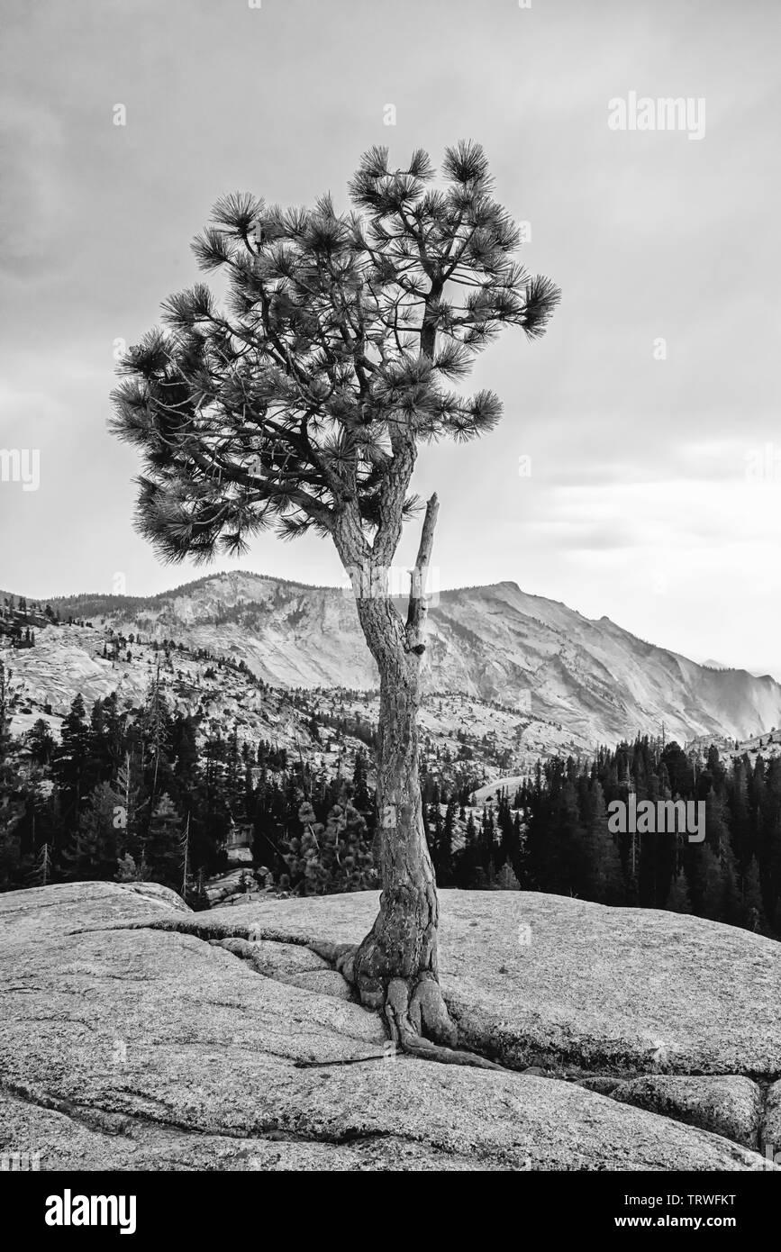 Tioga Pass Road,California, Lee Vining,Yosemite-Nationalpark,mountains,tree,pinestones,valley,Landschaftsaufnahme,Schwarz/Weiss - Stock Image
