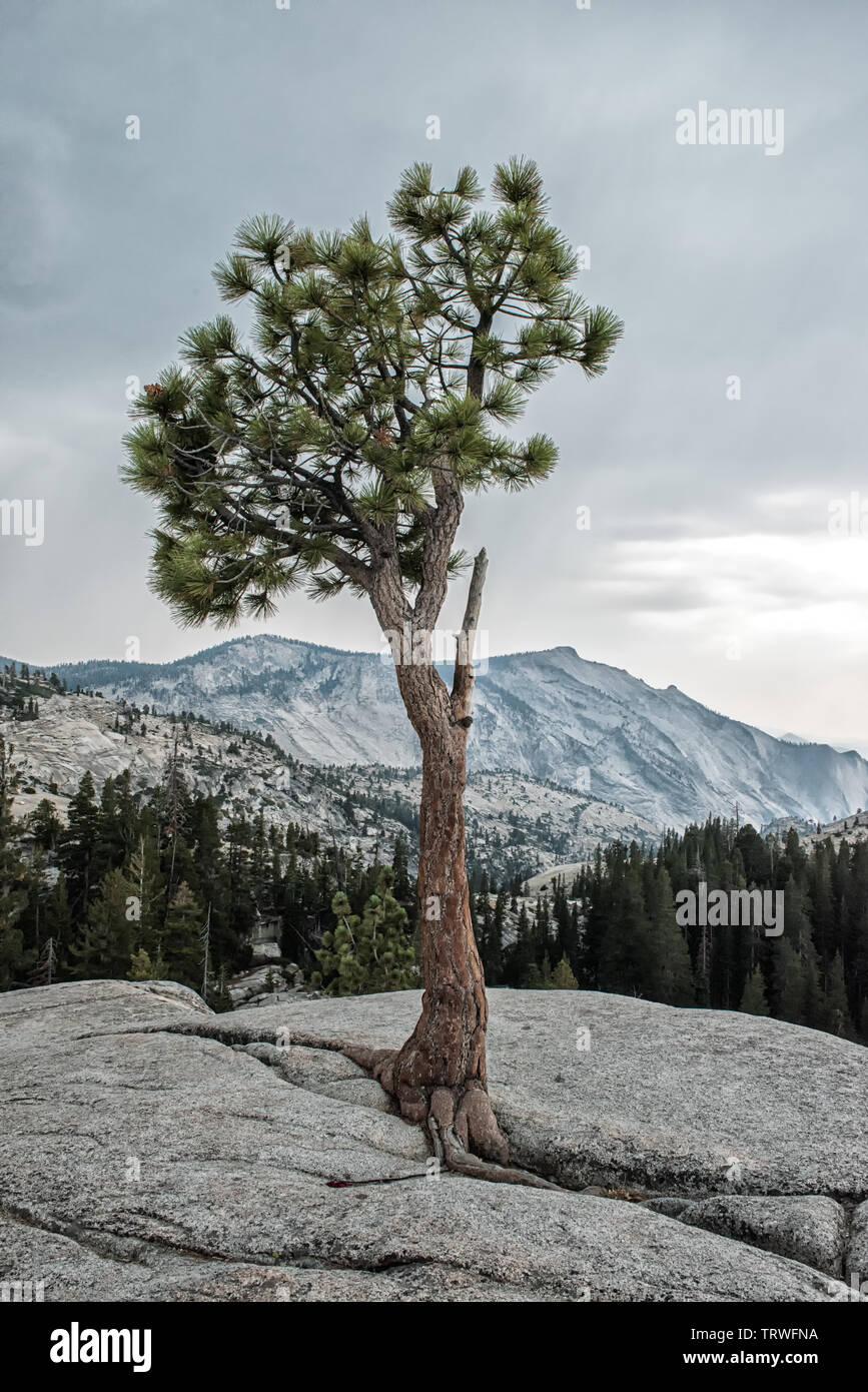 Tioga Pass Road,California, Lee Vining,Yosemite-Nationalpark,mountains,tree,pine, stones,valley,Landschaftsaufnahme - Stock Image