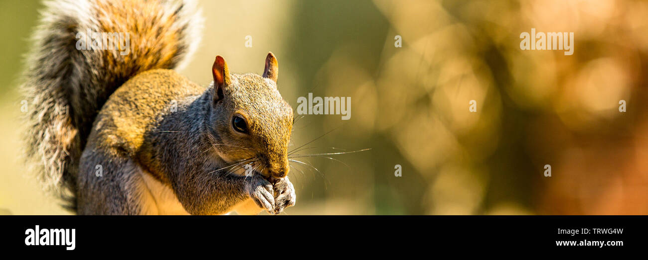 A grey squirrel eating nuts from a bird table in the garden. - Stock Image