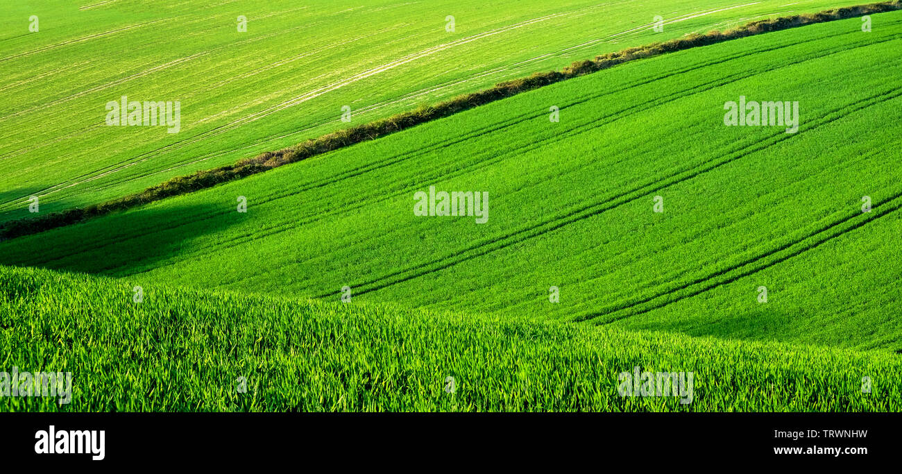 A rolling green wheat field on a hill with lines of tractor tyres tracks forming patterns in the green field, a hedge row forms a line in the fields, - Stock Image