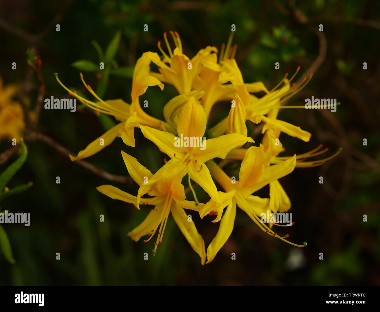 Close up of a yellow rhododendron luteum flower - Stock Image