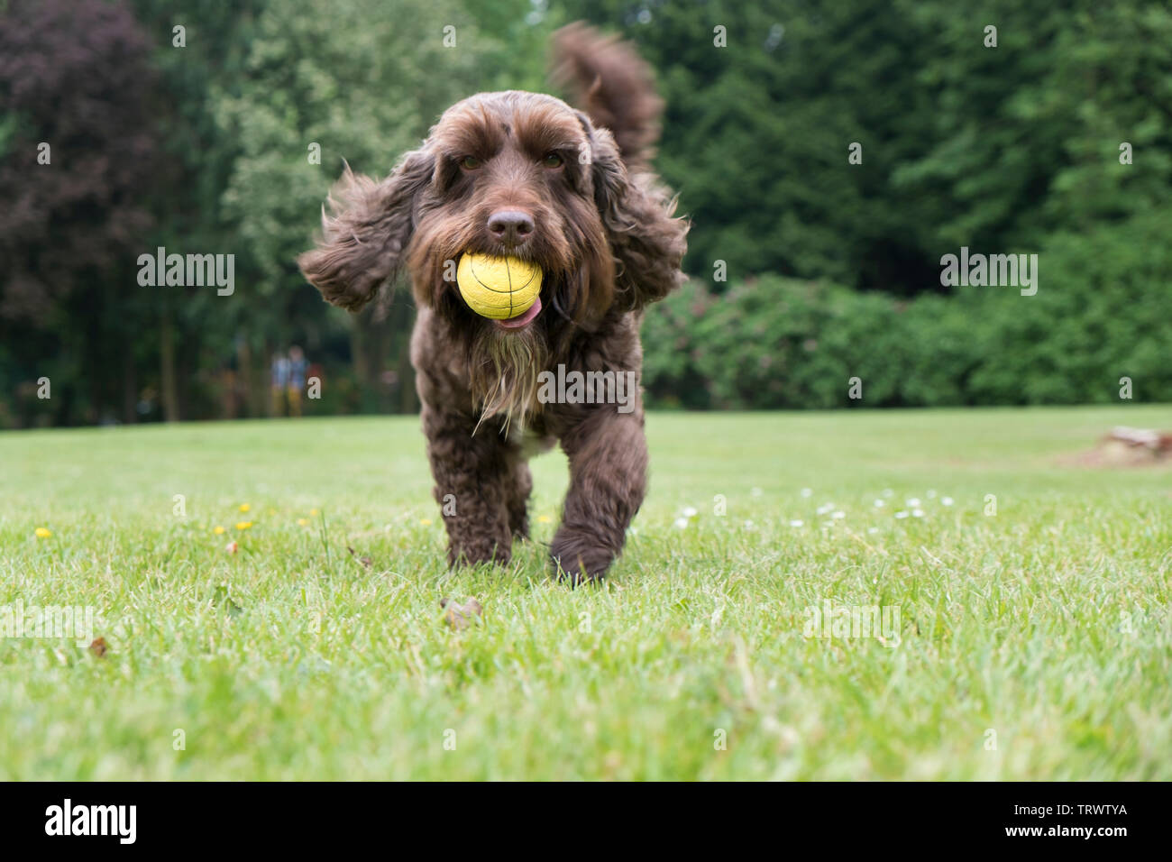 A brown male cockerpoo bringing back his ball in the park. - Stock Image