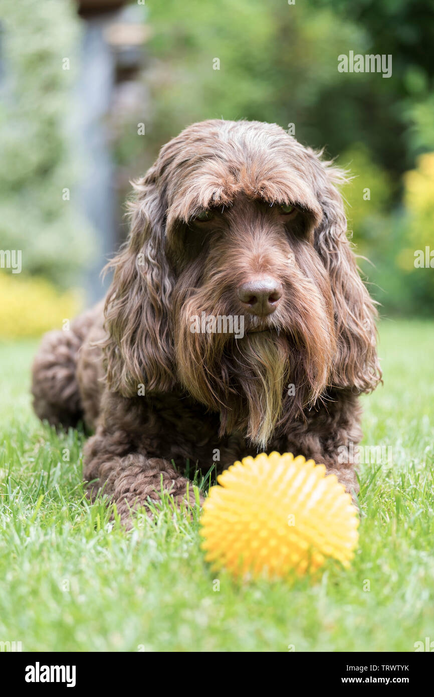 A brown male cockerpoo staring at his favourite ball. - Stock Image