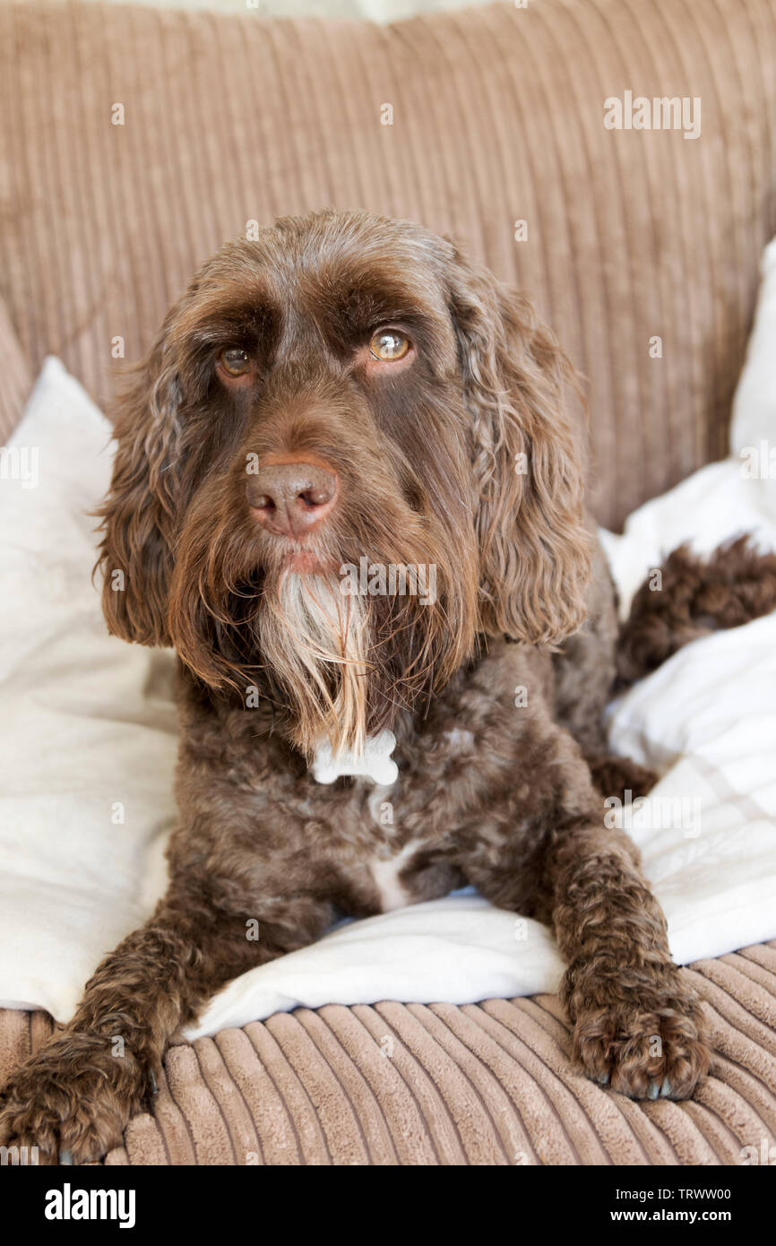 Portrait of a brown male cockerpoo. - Stock Image