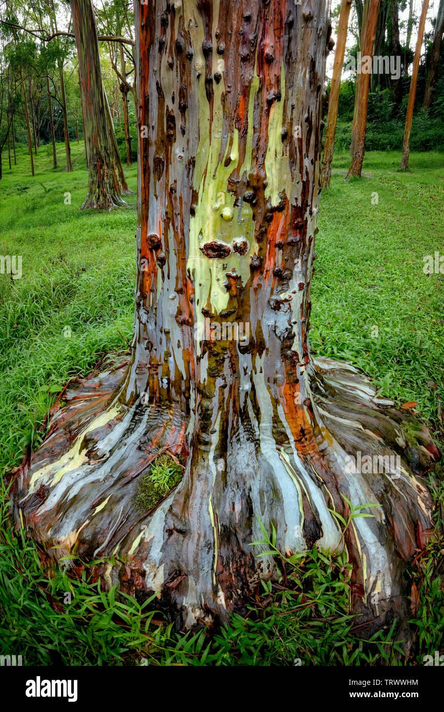 Painted Eucalyptus tree. Keahua Arboretum. Kauai, Hawaii - Stock Image