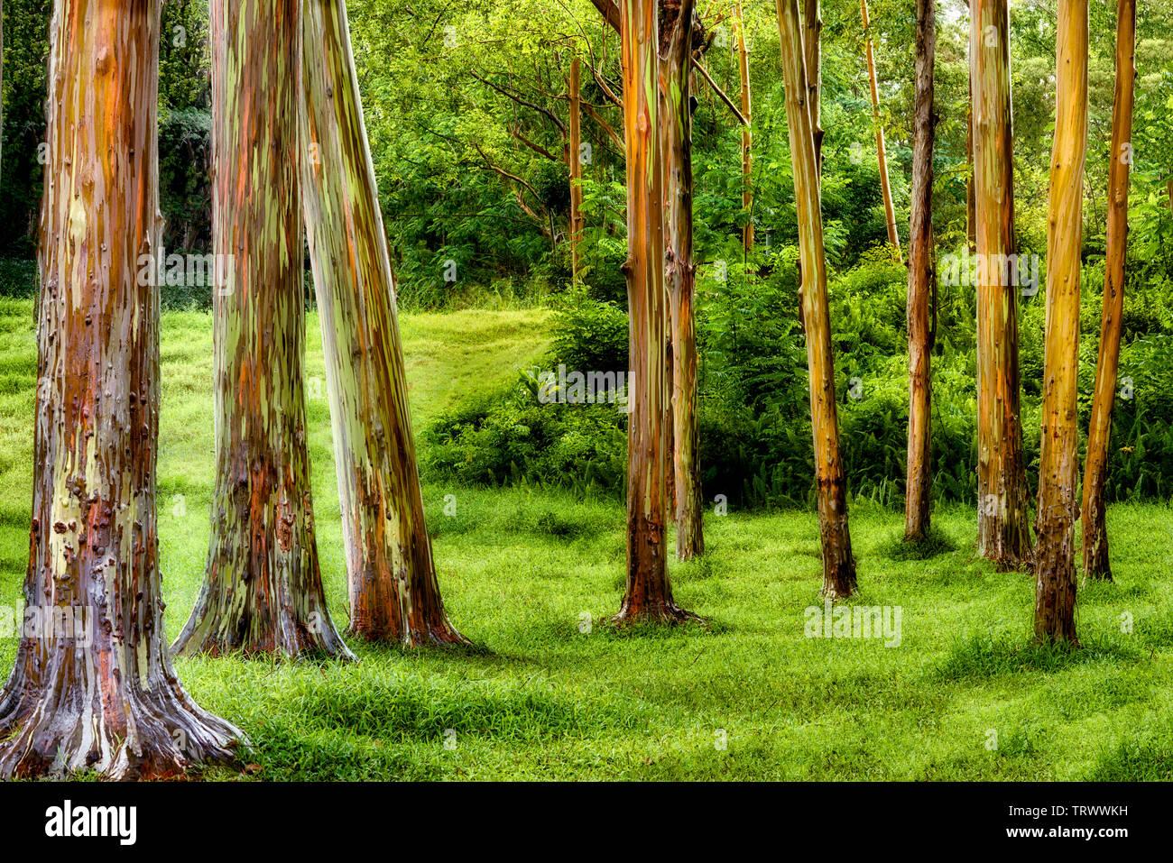 Painted Eucalyptus trees. Keahua Arboretum. Kauai, Hawaii - Stock Image