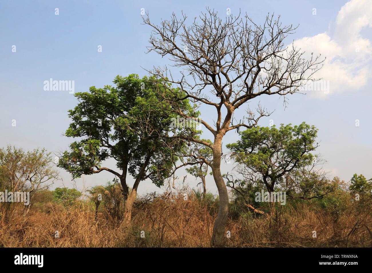 La brousse. Datcha Attikpayé. Togo. Afrique de l'Ouest Stock Photo