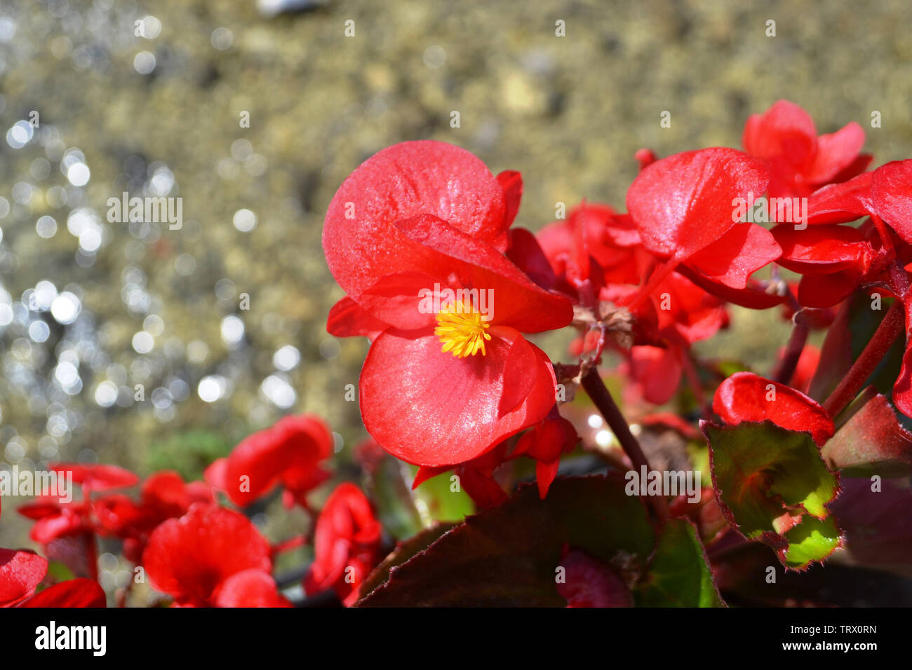 Close-up view to heads of red begonia flower blooming brightly illuminated under the sun with water blur background. Stock Photo