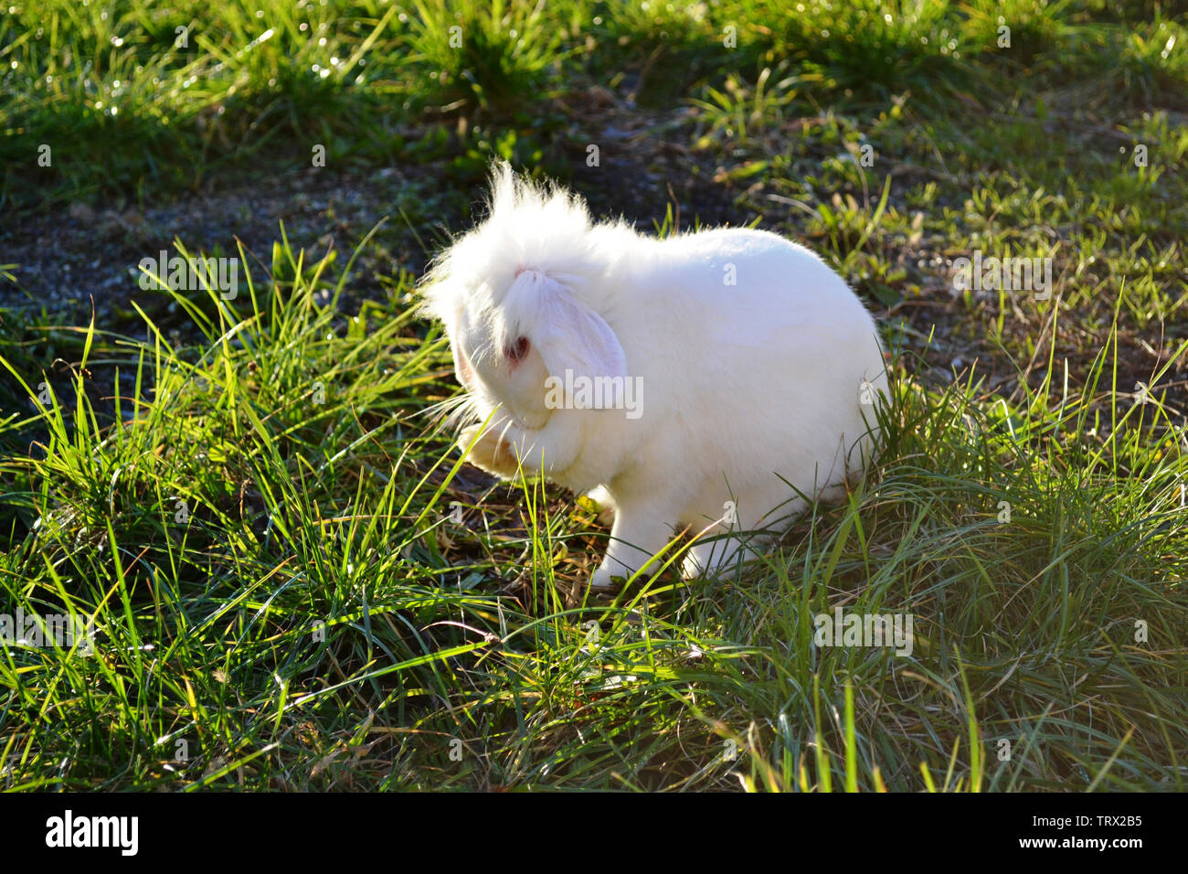 White fluffy lovely nano rabbit washing its face sitting on green grass meadow under the sun. Stock Photo