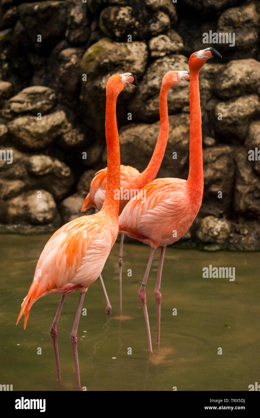 Greater Flamingo (Phoenicopterus ruber is rare in the US. Found on expansive mudflats, foraging in shallow water. - Stock Image