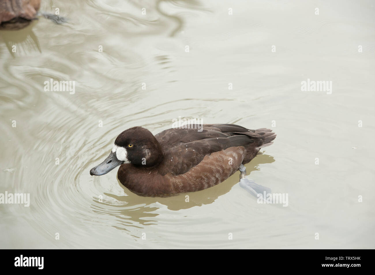 Ruddy Duck (Oxyura jamaicernsis) male with breeding plumage who swims in a pond. Ruddy Duck a common diving duck on ponds, lakes and sheltered bays in - Stock Image