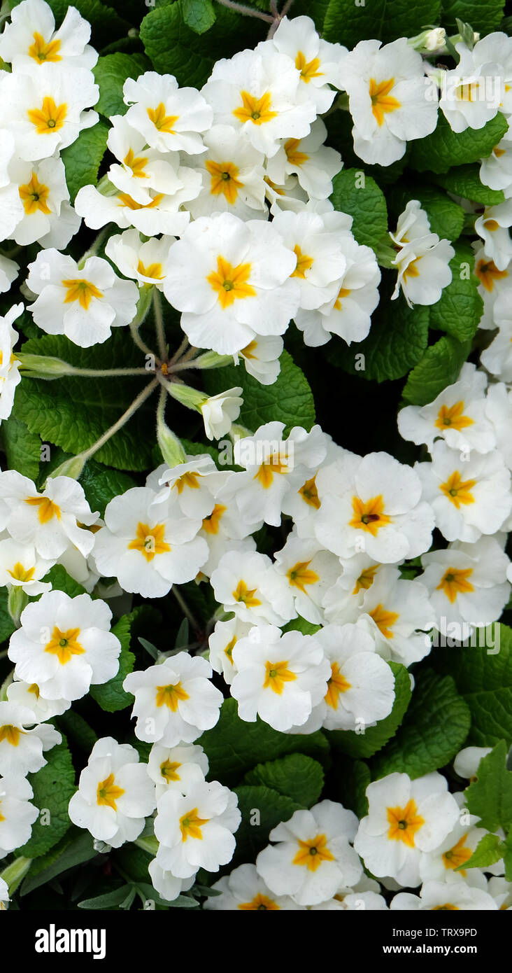 Many white primrose flowers in full bloom. A five-petals white flower with yellow star shape in middle. Stock Photo
