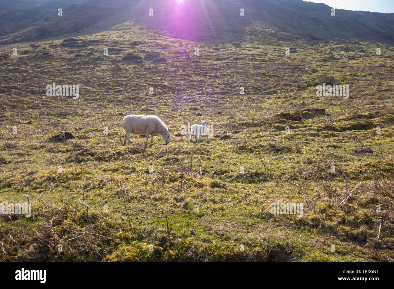 Brecknock Hill Cheviot, ewe with lamb. Brecknockshire Wales, March 2019 - Stock Image