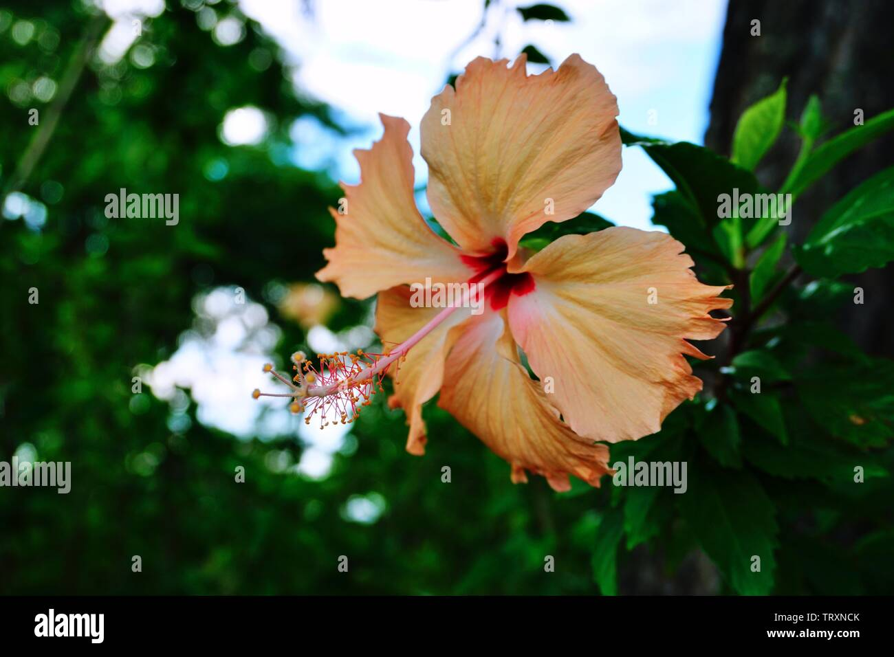 Peach Hibiscus Flower Stock Photos Peach Hibiscus Flower Stock