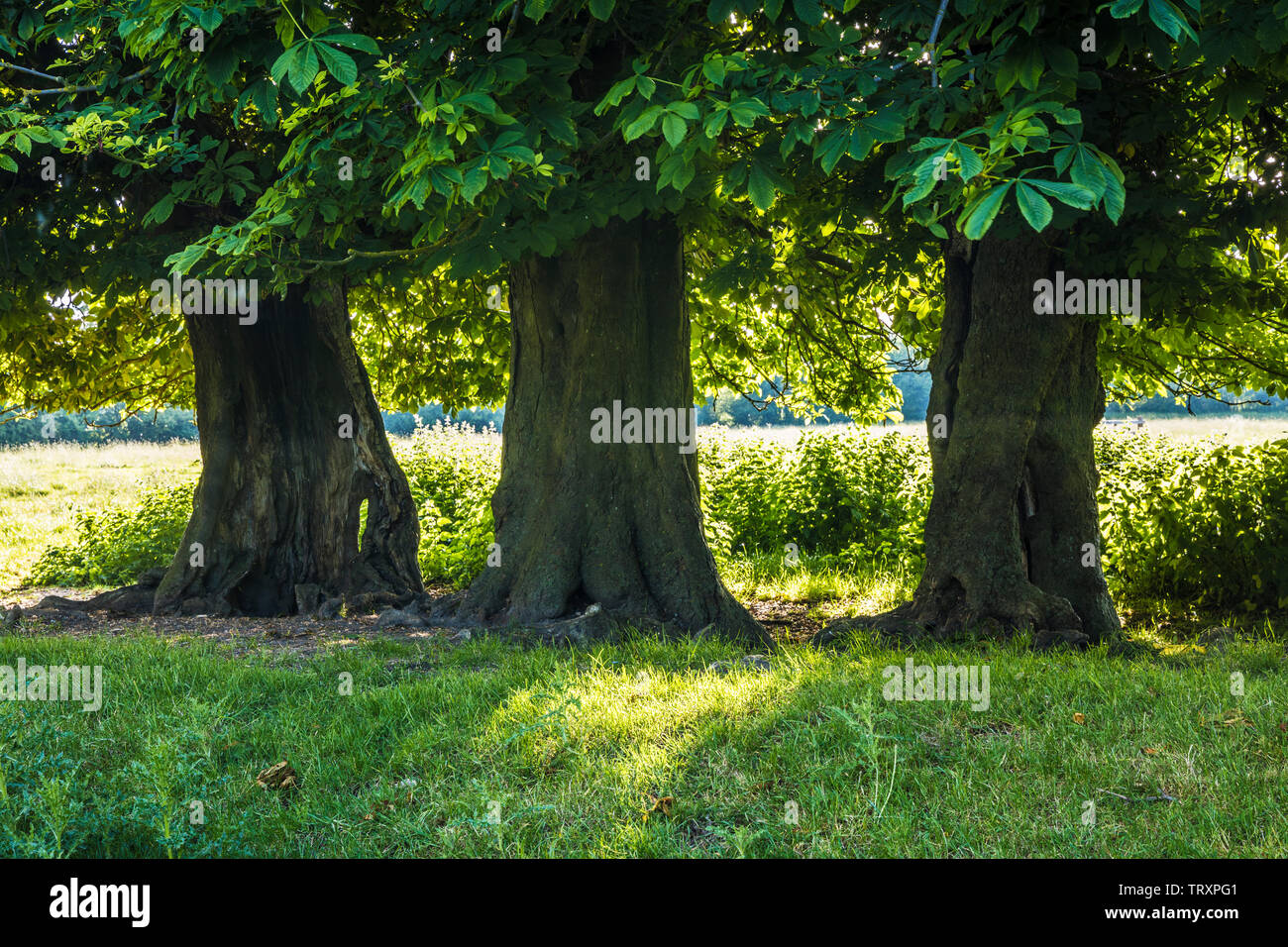 Three Horse Chestnut trees (Aesculus hippocastanum) in a field on a an early summer's morning. - Stock Image