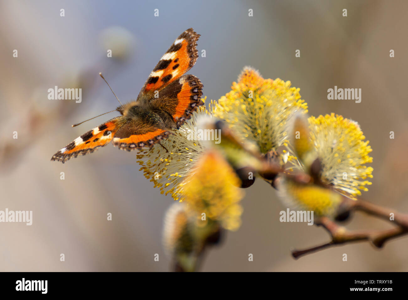 Tortoiseshell (Aglais urticae) butterfly sitting on a Sallow twig, picture from Northern Sweden. - Stock Image