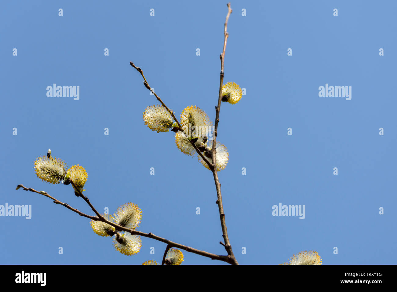 Blooming sallow twig with blue sky in background, picture from Northern Sweden. - Stock Image